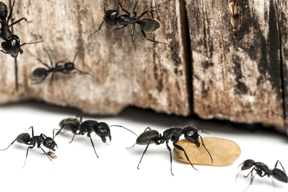Carpenter Ants Pcs Pest Control Services Gulf Islands